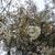 続々々 NHK放送センター西口前の桜の木