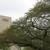NHK放送センター西口前の桜の木 その後