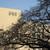 NHK放送センター西口前の桜の木