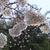 続 NHK放送センター西口前の桜